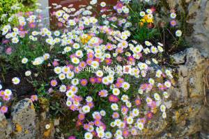 Daisies on Wall